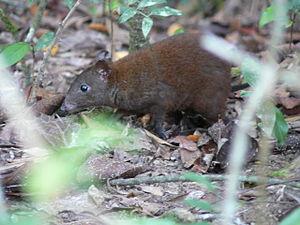 Musky rat-kangaroo - Musky rat-kangaroo