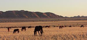 Feral horse - Feral horses of the Namib