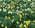 Narcissus ssp. in different colours.jpg