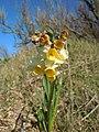 Narcissus tazetta Pointe des Poulains.jpg