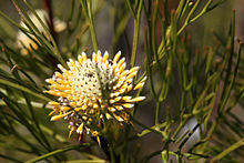 Close-up photograph of long yellow tubular flowers protruding horizontally from bottom half of the greenish cone