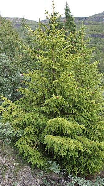 File:Narsarsuaq-arboretum-groenlandicum-spruce.jpg