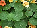 Nasturtium from Lalbagh flower show Aug 2013 7999.JPG