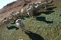 Navajo Sheep.jpg