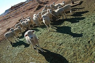 Navajo - Dibé (sheep) remain an important aspect of Navajo culture.