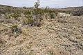 Near Berrenda Creek - Flickr - aspidoscelis (1).jpg