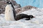 Neko Harbour Antarctica Gentoo Penguin Chicks (33461101748).jpg