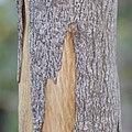Neoshirakia japonica (trunk s7) - cropped.jpg