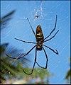 Nephila comorana, femelle et mâle.jpg