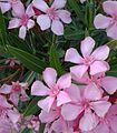 Nerium oleander (Adelfa).jpg