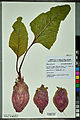 Neuchâtel Herbarium - Beta vulgaris - NEU000092624.jpg