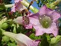 Nicotiana tabacum 'Tobacco' (Solanaceae) flower.JPG