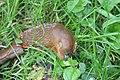 Nieuw Leeuwenhorst - Rode wegslak cq Spaanse wegslak (Arion rufus cq vulgaris).jpg