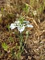 Nigella arvensis sl15.jpg