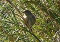 Nightingale Bunting Nesospiza questi (cropped2).jpg