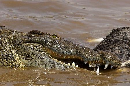 High action image of a huge Nile Crocodile nibbling on a dead wildebeest, in the Mara river, Masai Mara, Kenya.