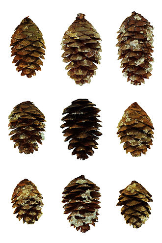 Picea rubens - Red spruce cones from the Pisgah National Forest