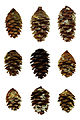 Nine picea rubens cones from Pisgah National Forest.jpg