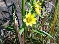 Nodding bur marigold (Whitefish I) 1.JPG