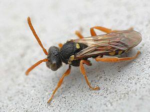 Nomadinae - Nomada fulvicornis