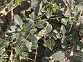 Noordwijk - Eenstijlige meidoorn (Crataegus monogyna).jpg