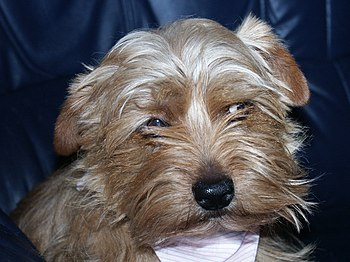 "Norfolk Terrier ""Virginia von den Wichtel..."
