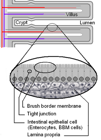 Brush border - Illustration of the brush border membrane of small intestinal villi