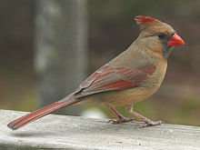 Northern Cardinal Female-27527.jpg