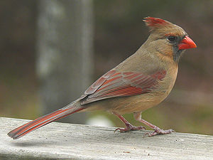 A female Northern Cardinal (Cardinalis cardina...