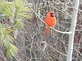Northern Cardinal male Lale.jpg