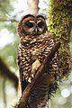 Northern Spotted Owl (female) (13989510624).jpg