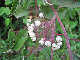 Northern Swamp Dogwood berries.jpg