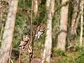 Northern pygmy owl (e43dbd38f2a34b0c9bacf92cad8a7155).JPG