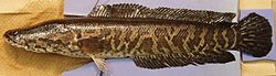 Northern snakehead, Channa argus