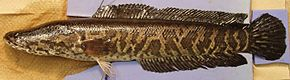 Description de l'image Northern snakehead.jpg.
