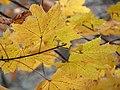 Norway Maple (30500703413).jpg