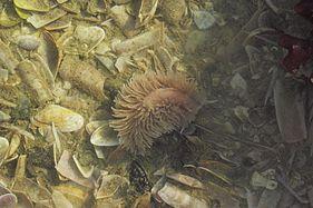 Nudibranchia Wimereux 02.jpg