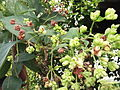 Nyctanthes arbor-tristis-2-nagalur-yercaud-salem-India.JPG