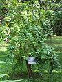 Nyctanthes arbor-tristis (Night jasmine) tree in RDA, Bogra 01.jpg