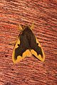 Nygmia epirotica (Lymantriidae- Nygmininae) (5641268861).jpg