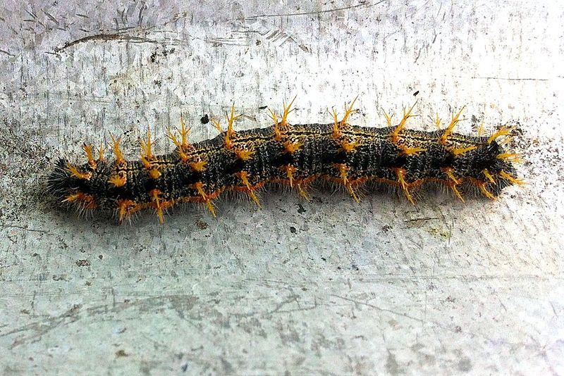 Bộ sưu tập cánh vẩy 6 - Page 9 800px-Nymphalis_polychloros_caterpillar
