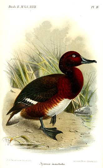 Madagascan pochard - The Madagascan pochard in the Catalogue of the Birds in the British Museum. Volume 27, 1895.