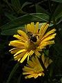 Ochsenauge (Buphthalmum salicifolium) auf der Rax I.jpg