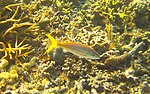 Ocyurus chrysurus - yellowtail snapper - Bay of Pigs - Cuba.jpg