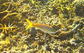 Ocyurus chrysurus - yellowtail snapper - Bay of Pigs - Cuba.jpg