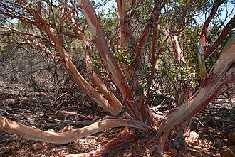 Xylococcus bicolor - Image: Old growth mission manzanita in San Diego County, California