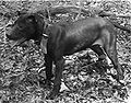 Old english terrier 041.jpg
