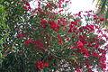 Oleander 2 2013-07-10.jpg