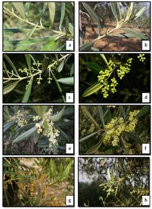Evoluzione fenologica della fioritura dell'olivo. Scala BBCH: a-50, B-51, C-54, d-57 (<15% di fiori aperti), f-65 (> 15% di fiori aperti), g-67 (<15% di fiori aperti), h-68 (Oteros et al., 2013)[5]