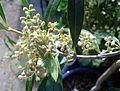Olive flower (9368367463).jpg